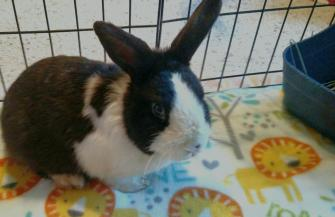 Surgery day for Spirit- Foot abscess | The Rabbit Haven